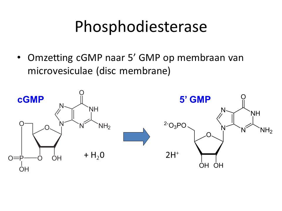 Omzetting cGMP naar 5' GMP op membraan van microvesiculae (disc membrane) + H 2 0 2H + cGMP5' GMP Phosphodiesterase