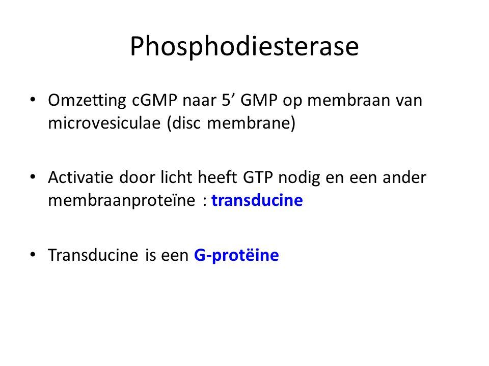 Omzetting cGMP naar 5' GMP op membraan van microvesiculae (disc membrane) Activatie door licht heeft GTP nodig en een ander membraanproteïne : transdu
