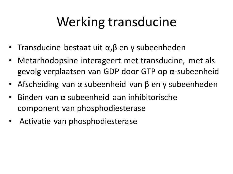 Werking transducine Transducine bestaat uit α,β en γ subeenheden Metarhodopsine interageert met transducine, met als gevolg verplaatsen van GDP door G