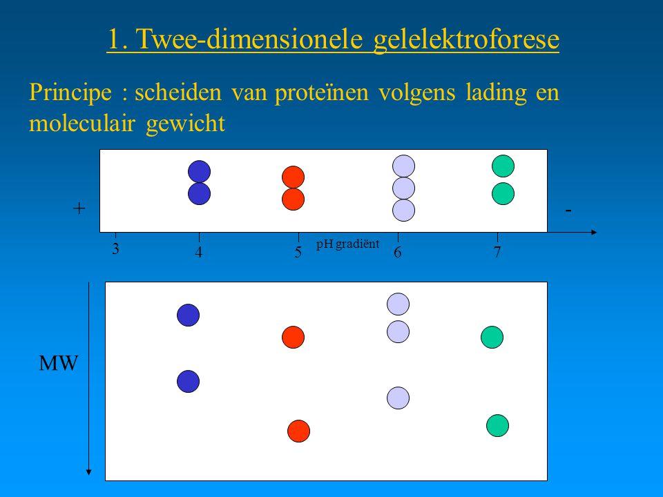 1. Twee-dimensionele gelelektroforese Principe : scheiden van proteïnen volgens lading en moleculair gewicht +- 34576 MW pH gradiënt