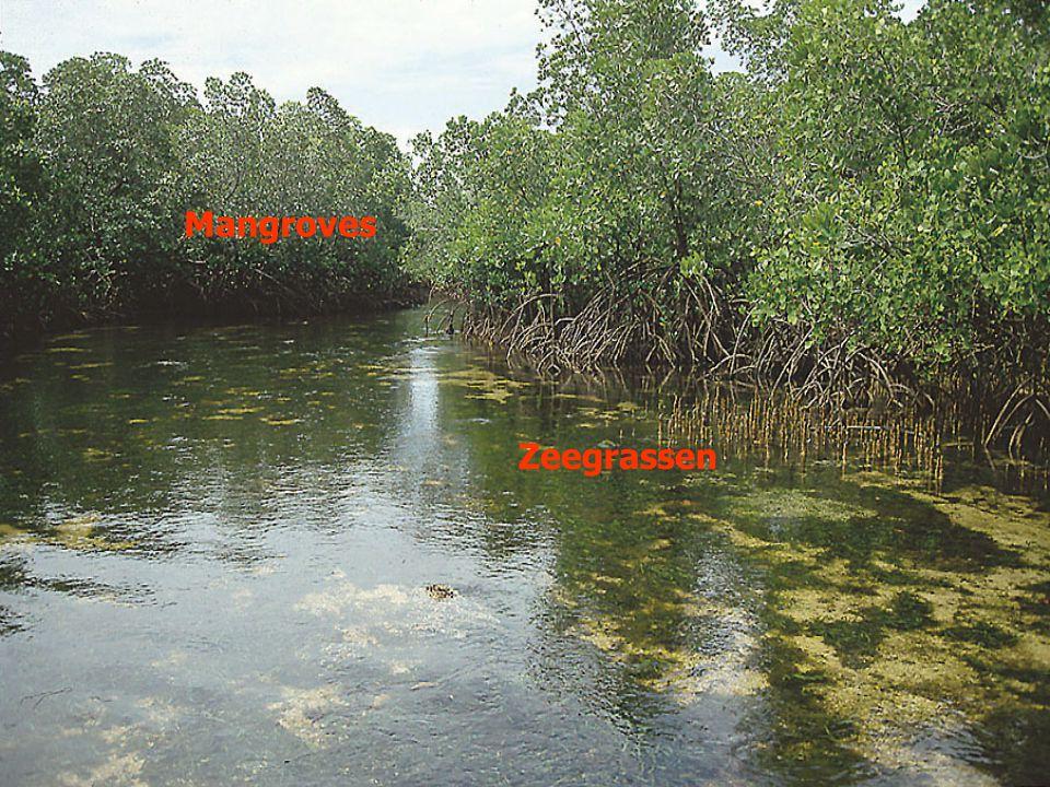 Mangroves Zeegrassen