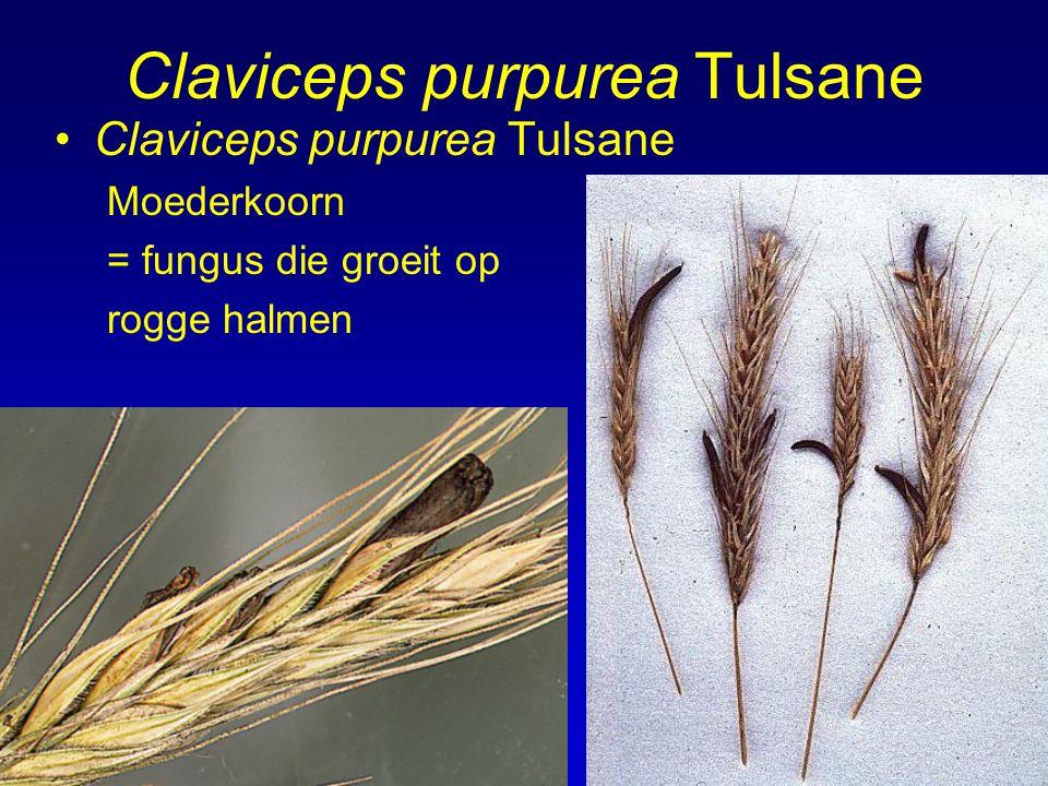 Claviceps purpurea Tulsane Moederkoorn = fungus die groeit op rogge halmen