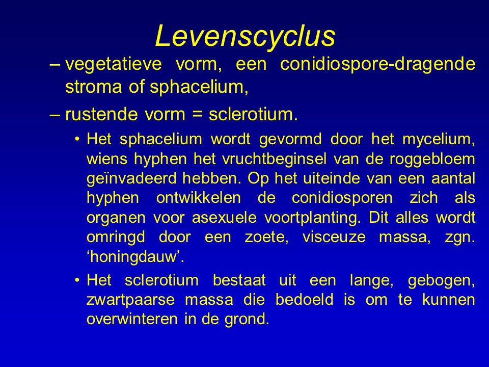 Levenscyclus –vegetatieve vorm, een conidiospore-dragende stroma of sphacelium, –rustende vorm = sclerotium. Het sphacelium wordt gevormd door het myc