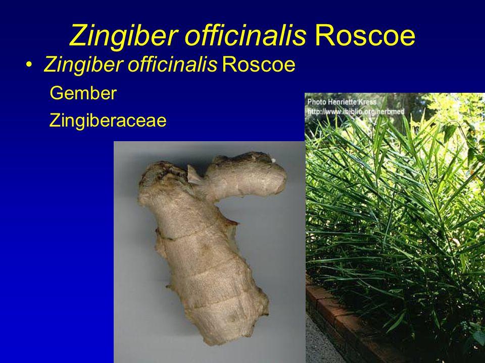 Zingiber officinalis Roscoe Gember Zingiberaceae