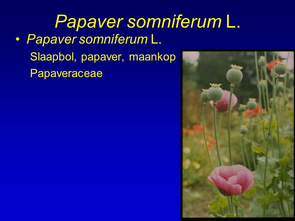 Papaver somniferum L. Slaapbol, papaver, maankop Papaveraceae