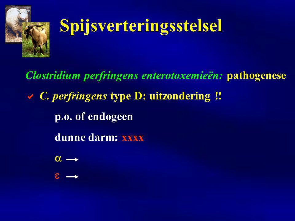 Clostridium perfringens enterotoxemieën: pathogenese  C. perfringens type D: uitzondering !! p.o. of endogeen dunne darm: xxxx   Spijsverteringsste