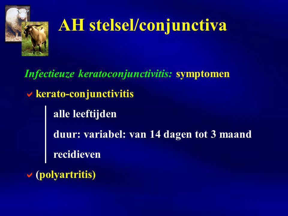 Infectieuze keratoconjunctivitis: symptomen  kerato-conjunctivitis alle leeftijden duur: variabel: van 14 dagen tot 3 maand recidieven  (polyartritis) AH stelsel/conjunctiva