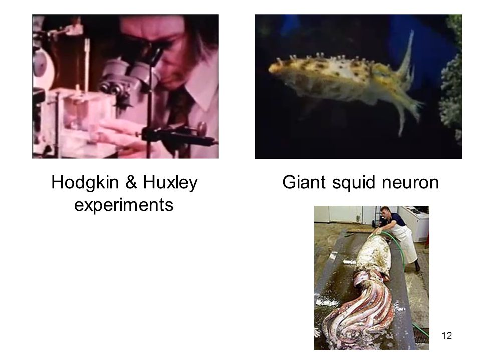 Cardiovascular Research Institute Maastricht (CARIM) 12 Hodgkin & Huxley experiments Giant squid neuron