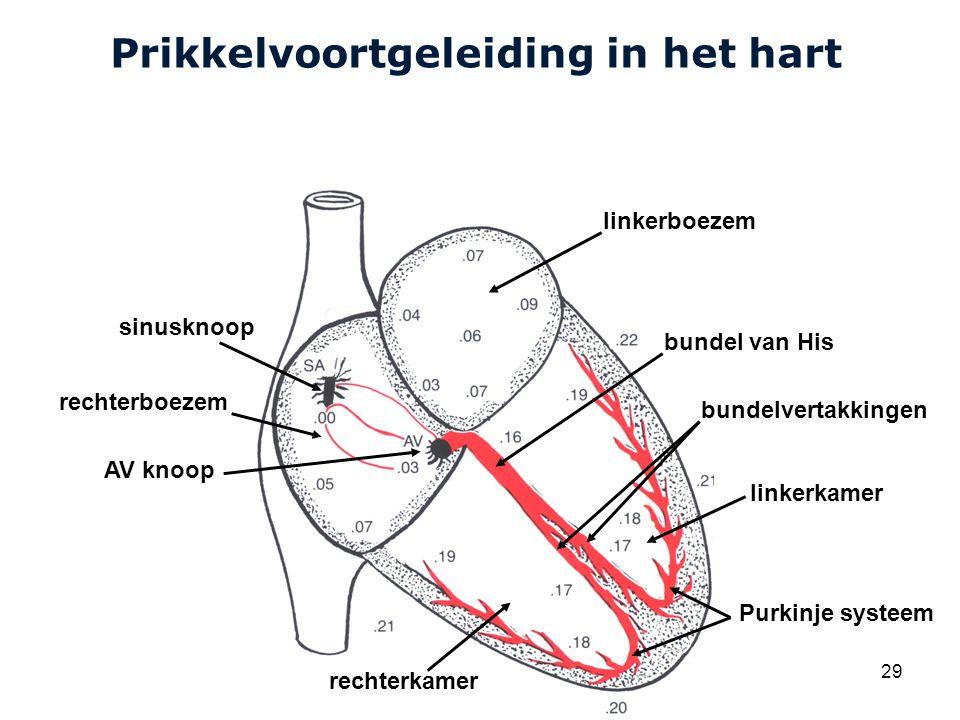 Cardiovascular Research Institute Maastricht (CARIM) 29 Prikkelvoortgeleiding in het hart sinusknoop AV knoop linkerboezem bundel van His bundelvertakkingen linkerkamer Purkinje systeem rechterkamer rechterboezem
