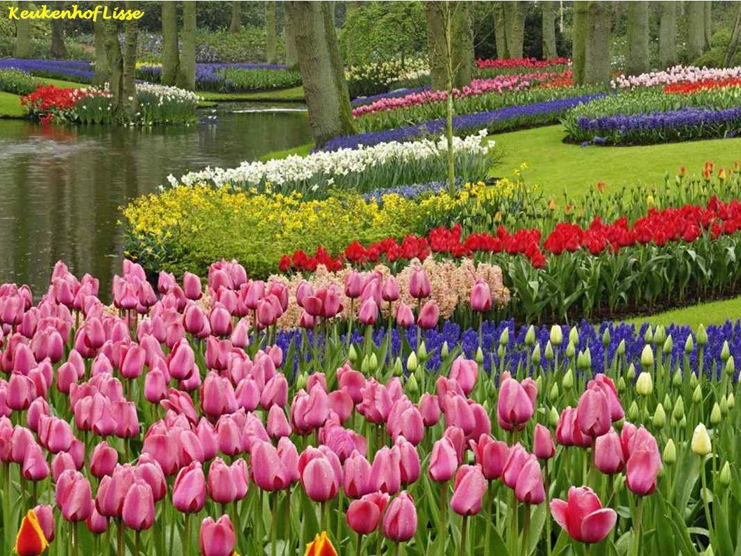 Tulpen - Noord holland