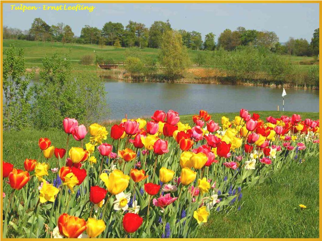 Tulpen - Ernst Leefting Tulpen - Ernst Leefting
