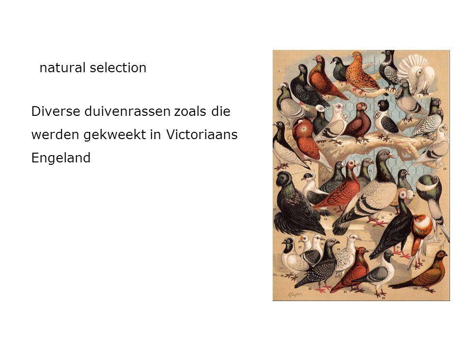 Diverse duivenrassen zoals die werden gekweekt in Victoriaans Engeland natural selection