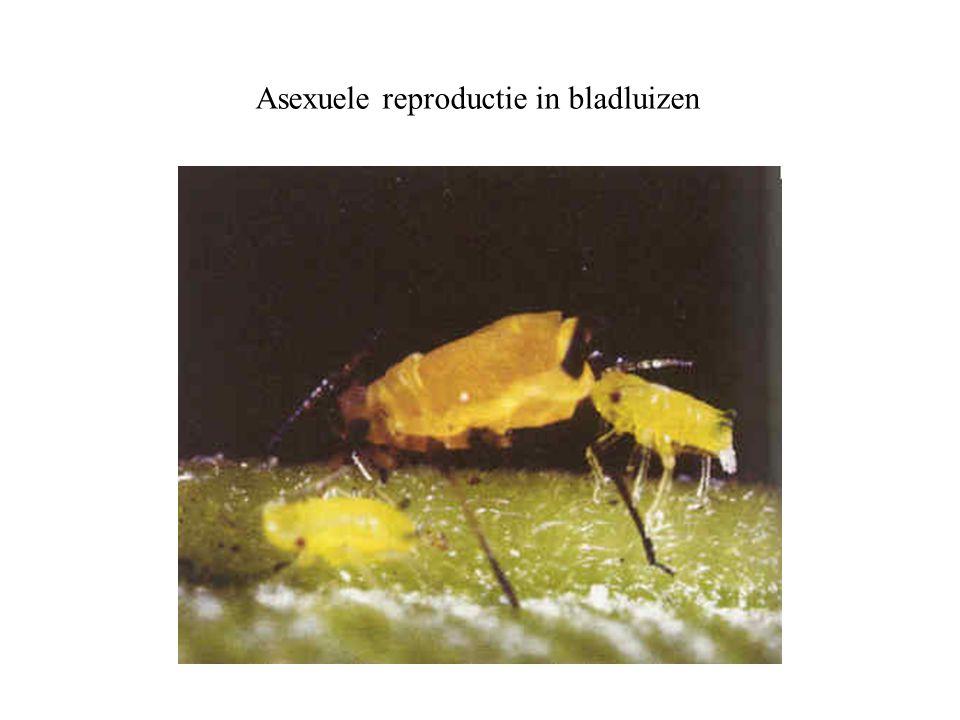 Asexuele reproductie in bladluizen