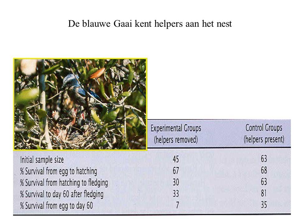 De blauwe Gaai kent helpers aan het nest