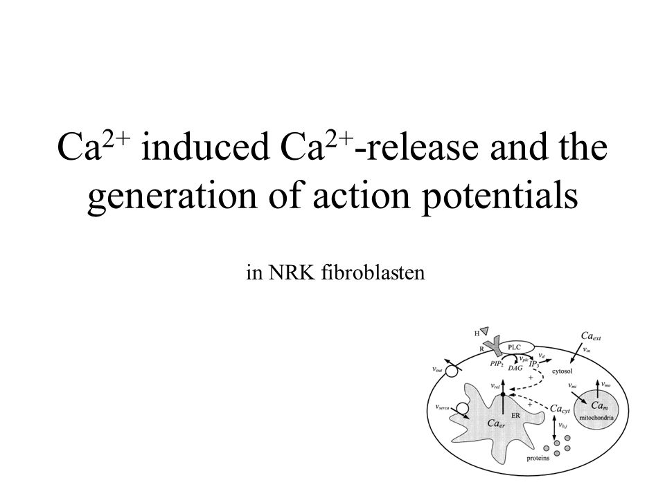 Ca 2+ induced Ca 2+ -release and the generation of action potentials in NRK fibroblasten
