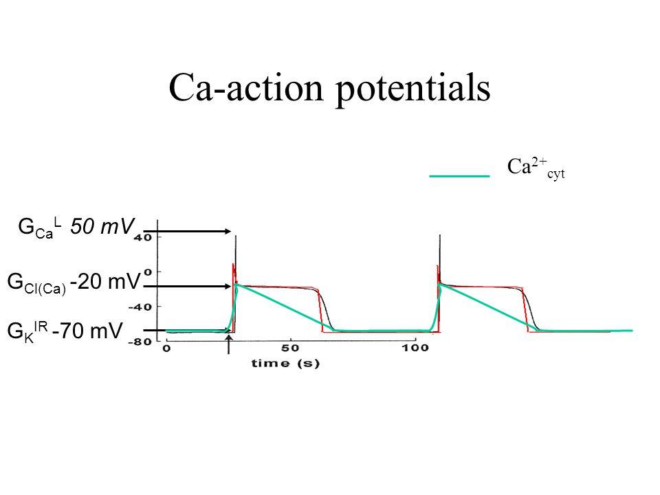 Ca-action potentials G Ca L 50 mV G Cl(Ca) -20 mV G K IR -70 mV Ca 2+ cyt