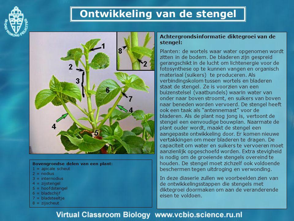 Ontwikkeling van de stengel Achtergrondsinformatie diktegroei van de stengel: Planten: de wortels waar water opgenomen wordt zitten in de bodem. De bl