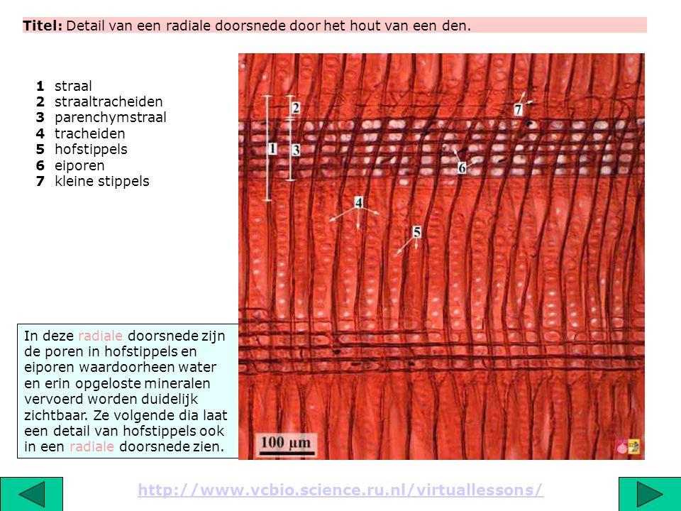 Titel: Lichtmicroscopische opname van een radiale doorsnede door het hout van een den http://www.vcbio.science.ru.nl/virtuallessons/ De volgende dia i
