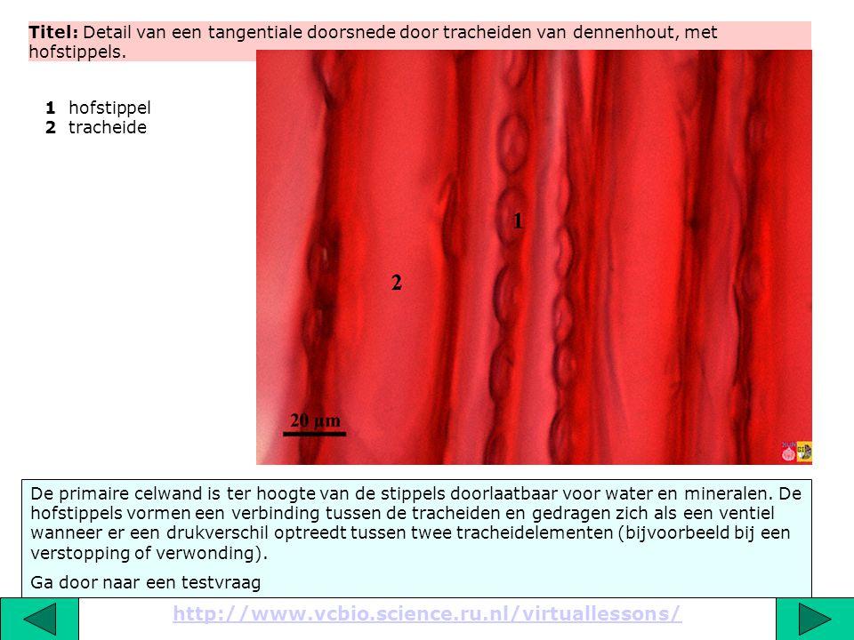 Titel: Detail van een tangentiale doorsnede door het hout van een den. http://www.vcbio.science.ru.nl/virtuallessons/ Er wordt verondersteld dat hars