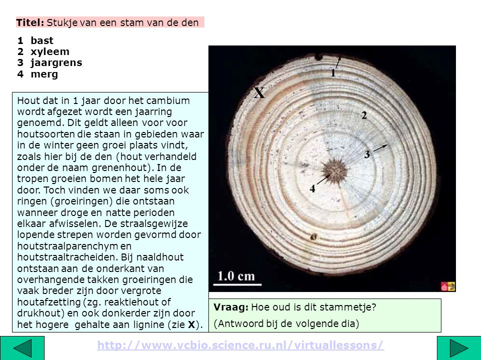 Serie van 17 dia's Nederlandse naam: Den Wetenschappelijke naam: Pinus sp. Familia: Pinaceae Classis: Coniferopsida Phylum: Gymnospermae Regnum: Plant