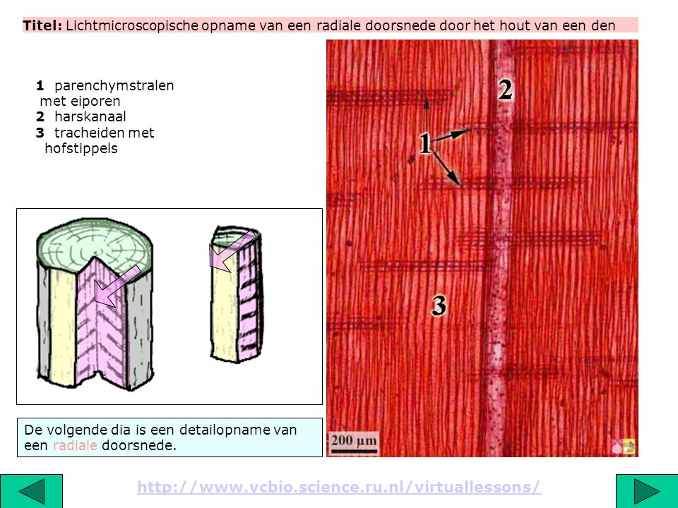 Titel: Lichtmicroscopische opname van een radiale doorsnede door het hout van een den http://www.vcbio.science.ru.nl/virtuallessons/ De volgende dia is een detailopname van een radiale doorsnede.