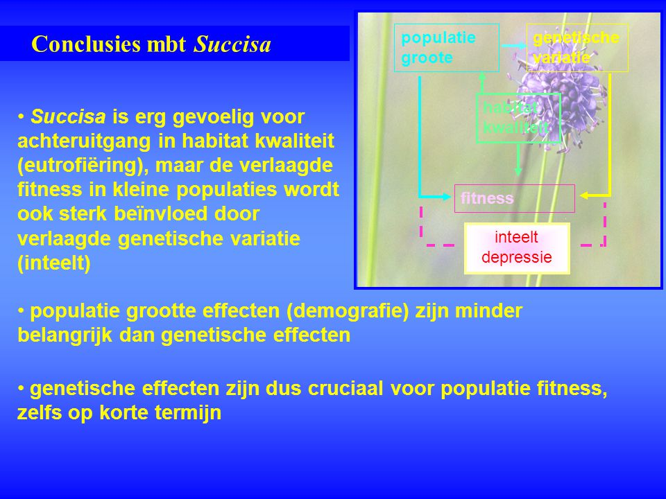 Conclusies mbt Succisa populatie grootte effecten (demografie) zijn minder belangrijk dan genetische effecten genetische effecten zijn dus cruciaal vo