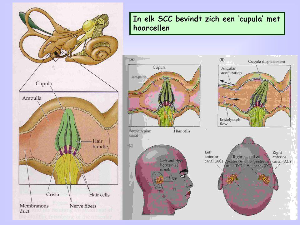 22 In elk SCC bevindt zich een 'cupula' met haarcellen