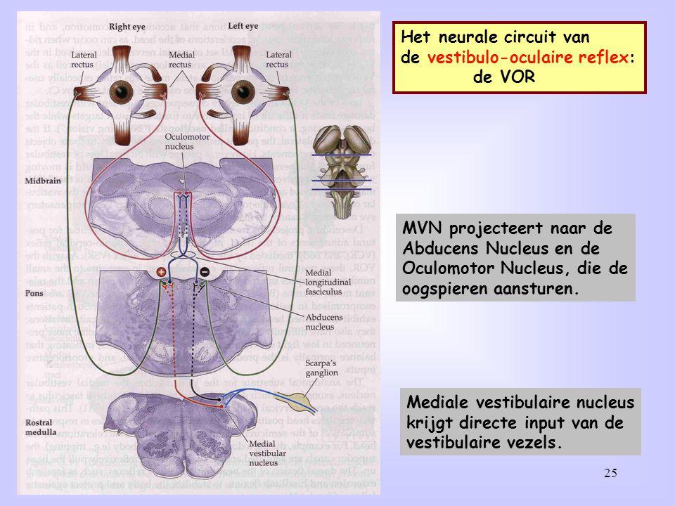25 Het neurale circuit van de vestibulo-oculaire reflex: de VOR Mediale vestibulaire nucleus krijgt directe input van de vestibulaire vezels. MVN proj