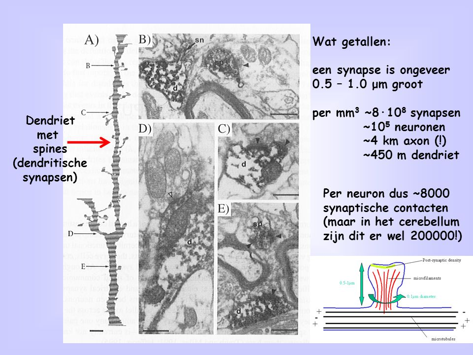 2 Dendriet met spines (dendritische synapsen) Wat getallen: een synapse is ongeveer 0.5 – 1.0 μm groot per mm 3 ~8·10 8 synapsen ~10 5 neuronen ~4 km