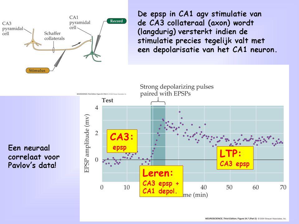 20 De epsp in CA1 agv stimulatie van de CA3 collateraal (axon) wordt (langdurig) versterkt indien de stimulatie precies tegelijk valt met een depolari