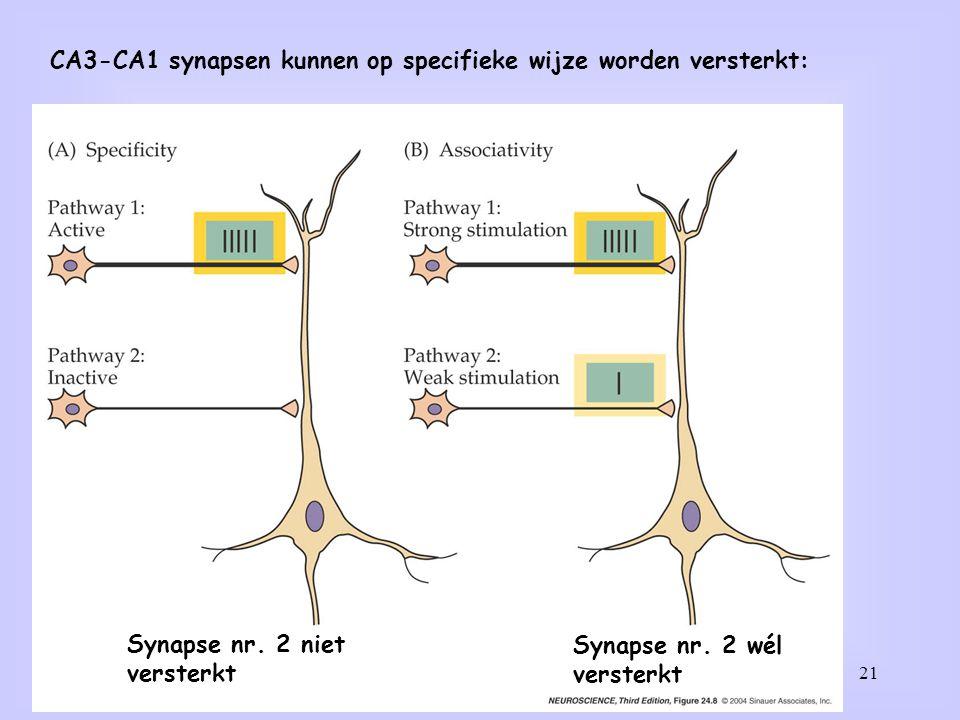 21 CA3-CA1 synapsen kunnen op specifieke wijze worden versterkt: Synapse nr. 2 niet versterkt Synapse nr. 2 wél versterkt