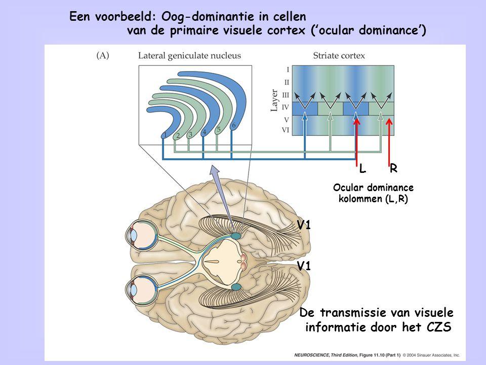 23 De transmissie van visuele informatie door het CZS Ocular dominance kolommen (L,R) LR V1 Een voorbeeld: Oog-dominantie in cellen van de primaire vi