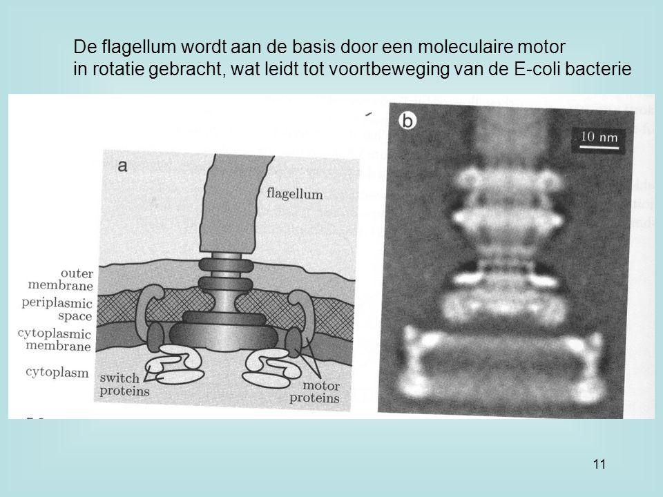 De flagellum wordt aan de basis door een moleculaire motor in rotatie gebracht, wat leidt tot voortbeweging van de E-coli bacterie 11