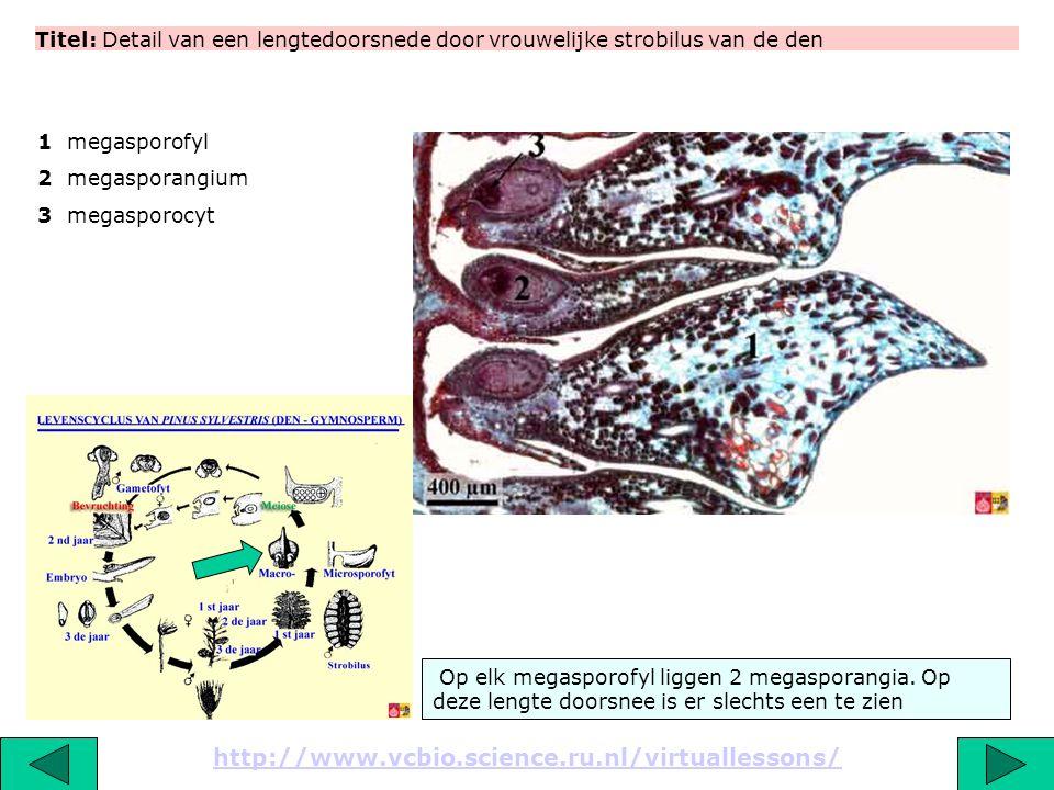 Titel: Detail van een lengtedoorsnede door vrouwelijke strobilus van de den http://www.vcbio.science.ru.nl/virtuallessons/ Op elk megasporofyl liggen
