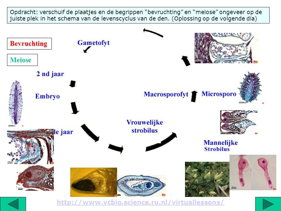 """http://www.vcbio.science.ru.nl/virtuallessons/ Opdracht: verschuif de plaatjes en de begrippen """"bevruchting"""" en """"meiose"""" ongeveer op de juiste plek in"""