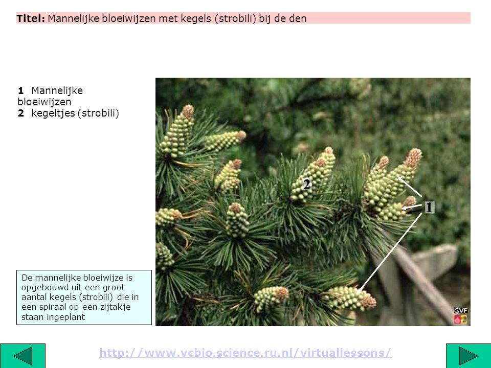 Titel: Mannelijke bloeiwijzen met kegels (strobili) bij de den http://www.vcbio.science.ru.nl/virtuallessons/ De mannelijke bloeiwijze is opgebouwd ui