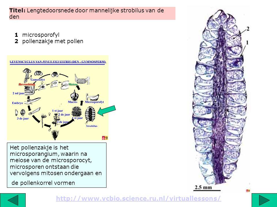 Titel: Detail van een lengtedoorsnede door mannelijke strobilus van de den met sporofyl, microsporangium en pollenkorrels http://www.vcbio.science.ru.nl/virtuallessons/ Door uitdroging zal de wand van het microsporangium openscheuren en kunnen de stuifmeelkorrels door de wind worden verspreid (anemofylie) 1 microsporofyl (2n) 2 wand van microsporangium (2n) 3 pollenkorrels (bevatten haploide cellen)