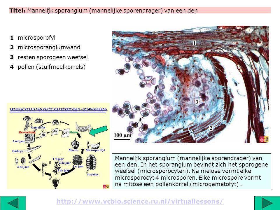 Titel: Gekiemd dennenstuifmeel (pollen) http://www.vcbio.science.ru.nl/virtuallessons/ De luchtzakken dragen bij aan de verspreiding van het stuifmeel door de wind.