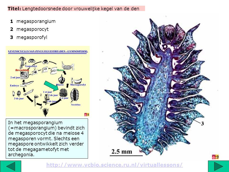 Titel: Detail van een lengtedoorsnede door vrouwelijke strobilus van de den http://www.vcbio.science.ru.nl/virtuallessons/ Op elk megasporofyl liggen 2 megasporangia.
