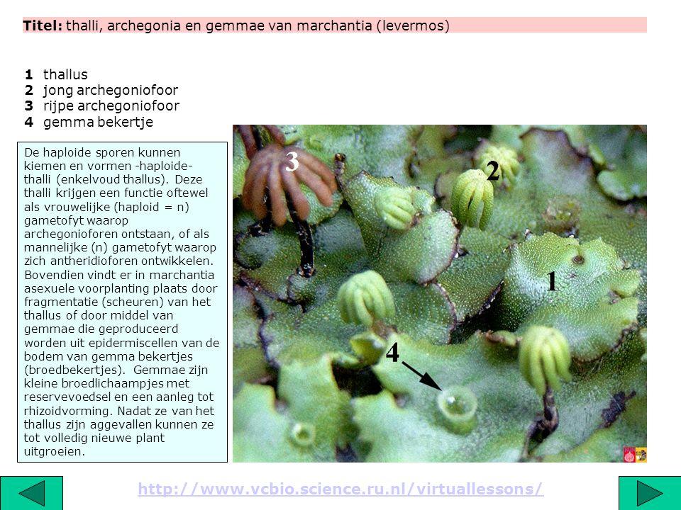 Titel: thalli, archegonia en gemmae van marchantia (levermos) http://www.vcbio.science.ru.nl/virtuallessons/ De haploide sporen kunnen kiemen en vorme