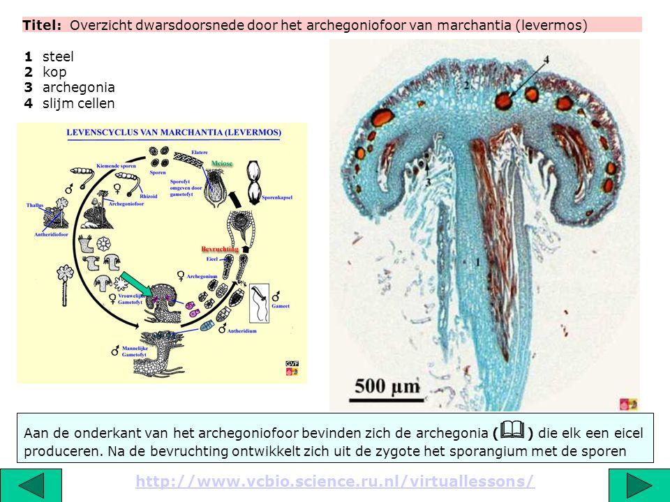 Titel: Overzicht dwarsdoorsnede door het archegoniofoor van marchantia (levermos) http://www.vcbio.science.ru.nl/virtuallessons/ 1 steel 2 kop 3 arche