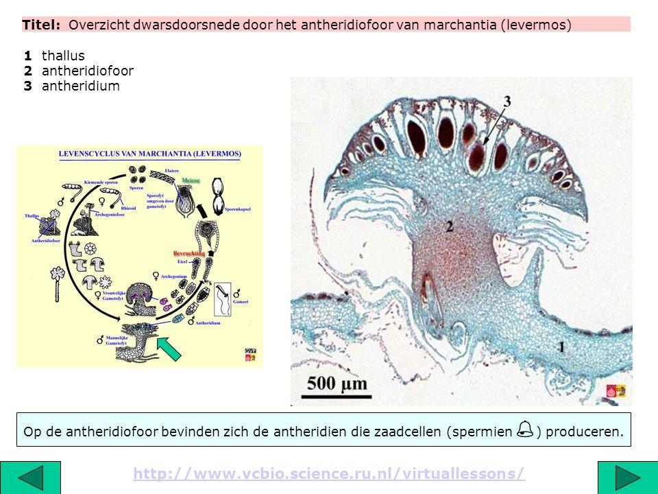 Titel: Overzicht dwarsdoorsnede door het antheridiofoor van marchantia (levermos) http://www.vcbio.science.ru.nl/virtuallessons/ 1 thallus 2 antheridi