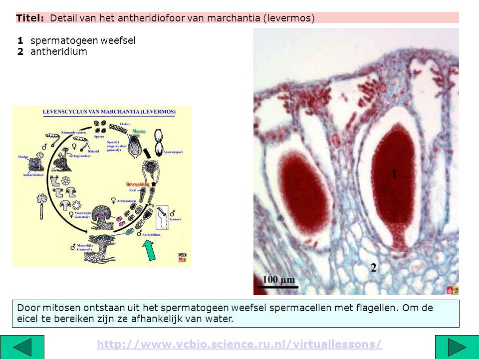 Titel: Detail van het antheridiofoor van marchantia (levermos) http://www.vcbio.science.ru.nl/virtuallessons/ 1 spermatogeen weefsel 2 antheridium Doo