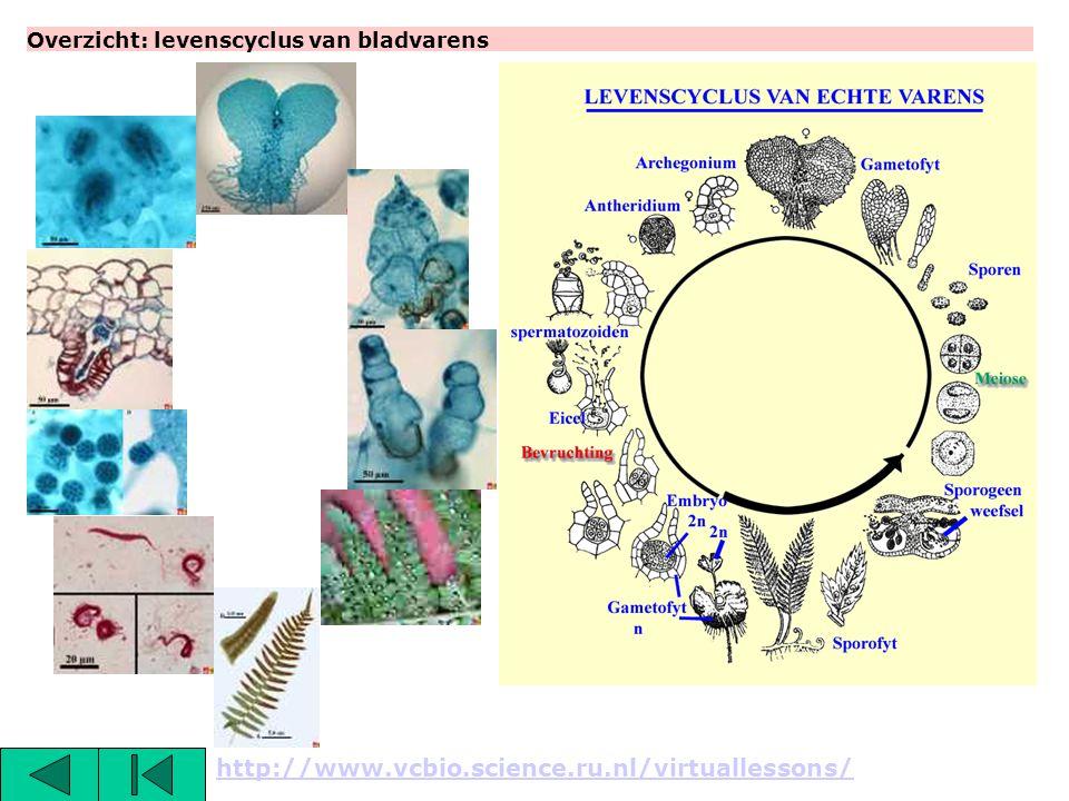 Overzicht: levenscyclus van bladvarens http://www.vcbio.science.ru.nl/virtuallessons/