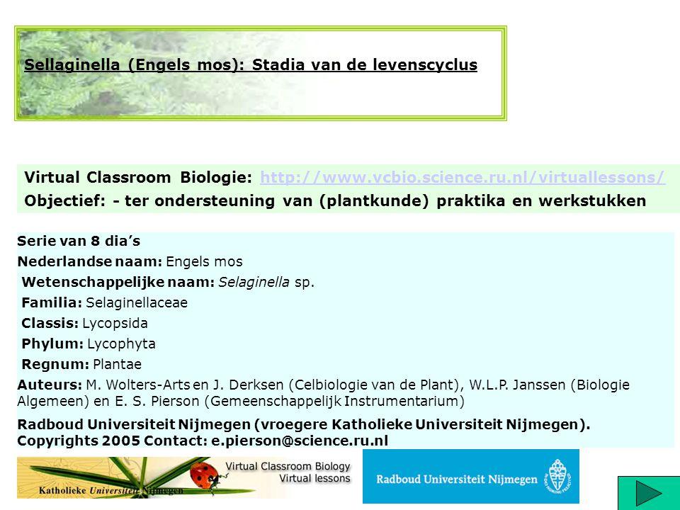 Titel: Levenscyclus van selaginella (Engels mos, behorende bij de wolfsklauwachtigen) http://www.vcbio.science.ru.nl/virtuallessons/ De Lycopodiaten (= wolfsklauwachtigen) zijn zogenaamde microfylle varens (micro = klein; fyl = blad); ze bezitten o.a.