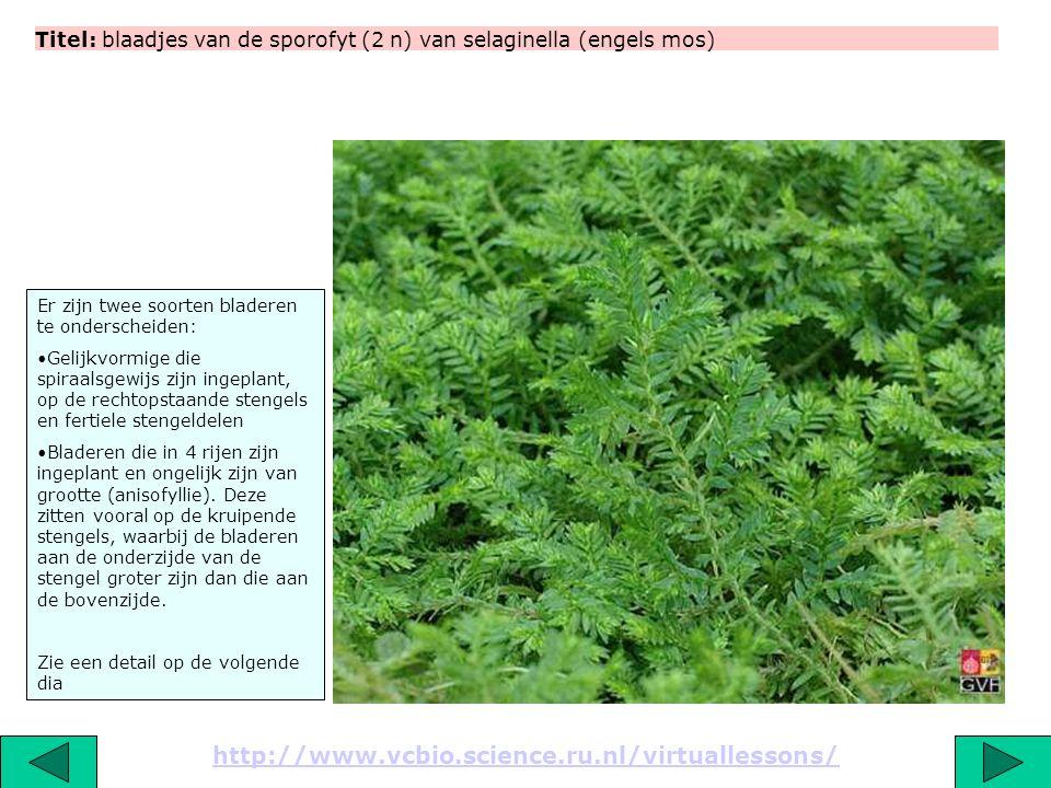 Titel: blaadjes van de sporofyt (2 n) van selaginella (engels mos) http://www.vcbio.science.ru.nl/virtuallessons/