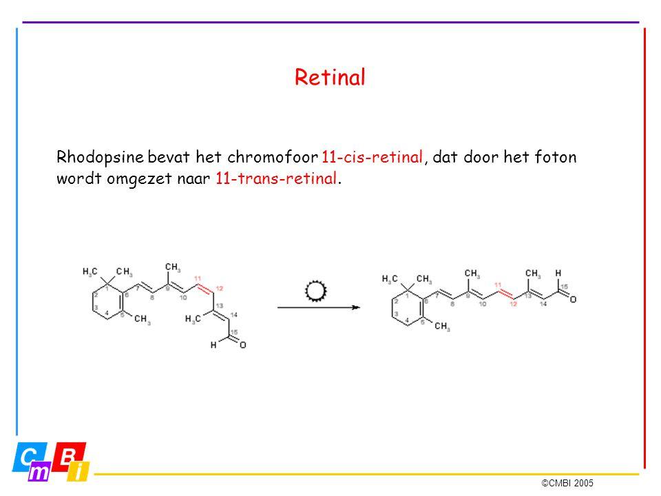 ©CMBI 2005 Retinal Rhodopsine bevat het chromofoor 11-cis-retinal, dat door het foton wordt omgezet naar 11-trans-retinal.