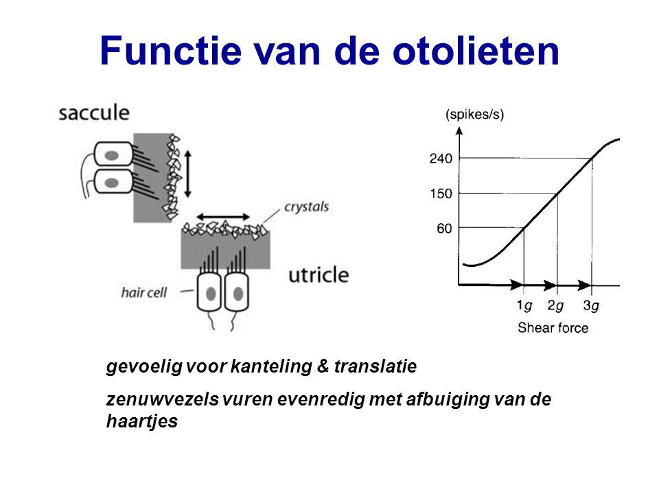 Functie van de otolieten gevoelig voor kanteling & translatie zenuwvezels vuren evenredig met afbuiging van de haartjes