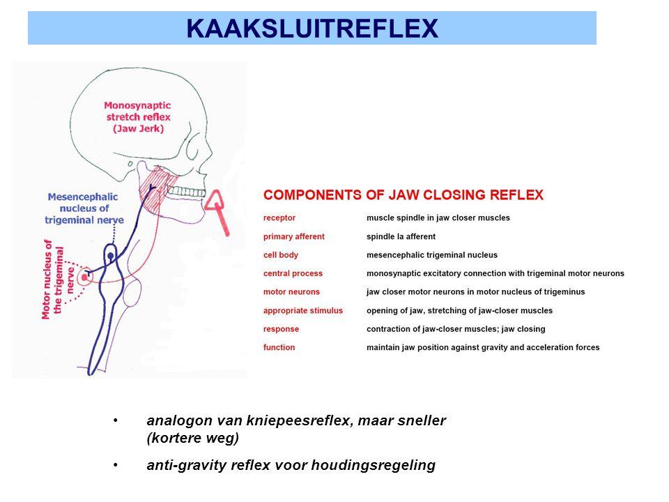 KAAKSLUITREFLEX analogon van kniepeesreflex, maar sneller (kortere weg) anti-gravity reflex voor houdingsregeling