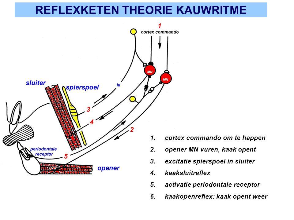 REFLEXKETEN THEORIE KAUWRITME 1.cortex commando om te happen 2.opener MN vuren, kaak opent 3.excitatie spierspoel in sluiter 4.kaaksluitreflex 5.activ